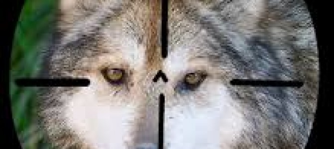 PACMA denuncia que la Junta de Castilla y León falsea el censo de lobos