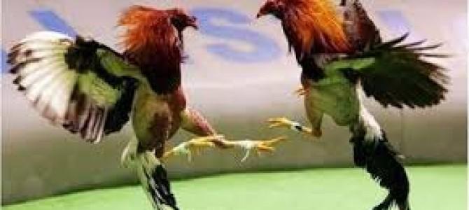 La vergüenza de las peleas de gallos